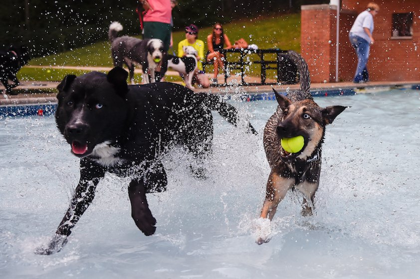 Two dogs (one has a tennis ball in their mouth) running in a shallow pool